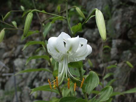 kanokoyuri (3)
