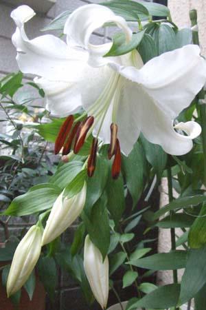 Lilium 'Casa Blanca' (3)