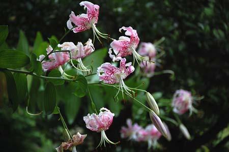 kanokoyuri (8)