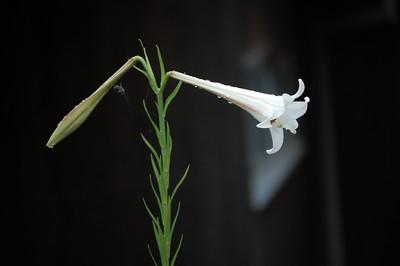 takasagoyuri (4)