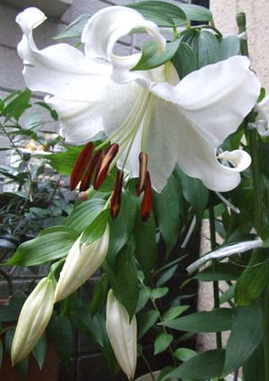 Lilium 'Casa Blanca'