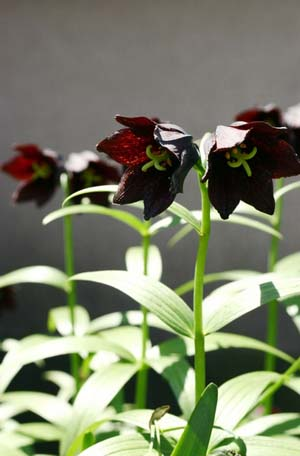 chocolate lily (5)