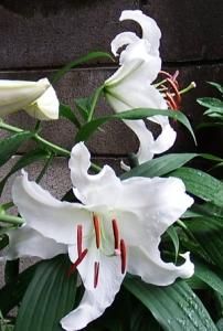 Lilium 'Casa Blanca07050005