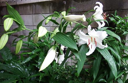 Lilium 'Casa Blanca07050007