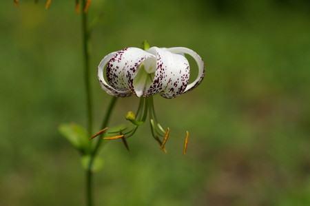 Lilium duchartrei