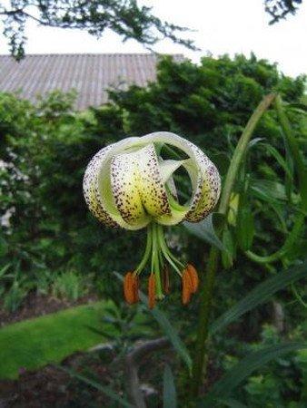Lilium taliense